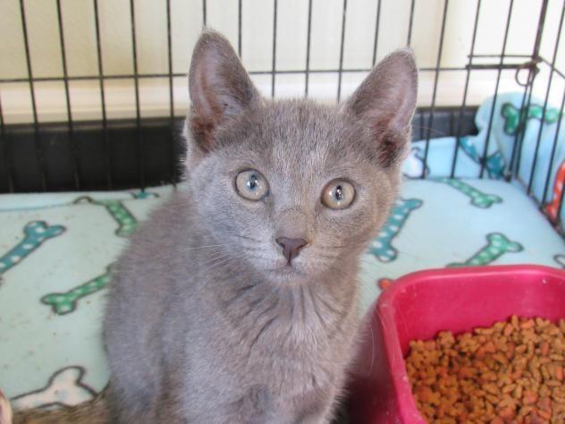 ADOPTED!!! Violet * Meet Violet, a Petfinder adoptable Russian Blue Cat in Battle Creek, MI   Petfinder.com