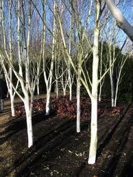 betula jacquemontii birch