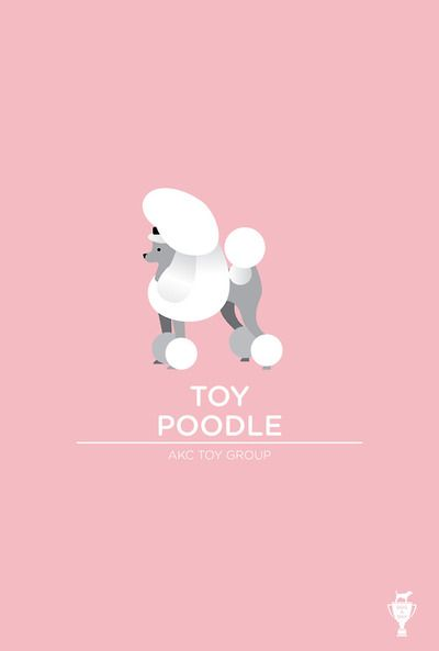 Toy Poodle | Bethany Ng