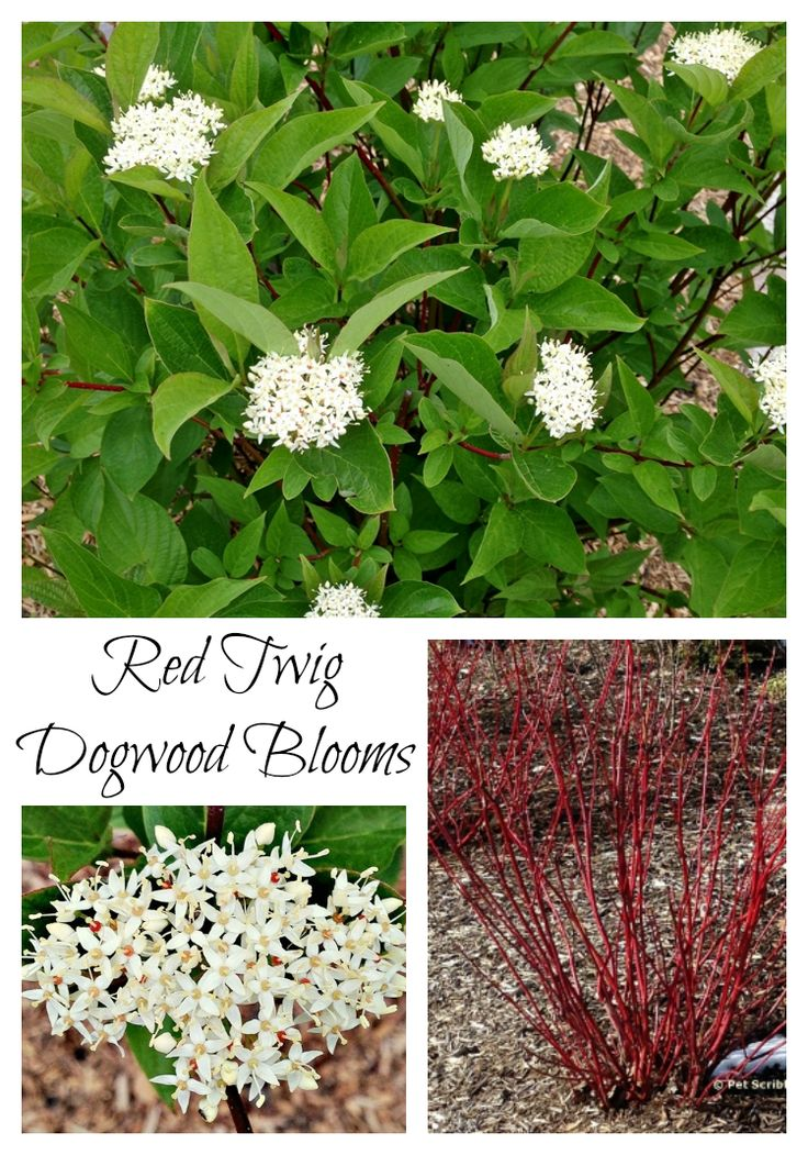 Surprise: our Red Twig Dogwoods are blooming!