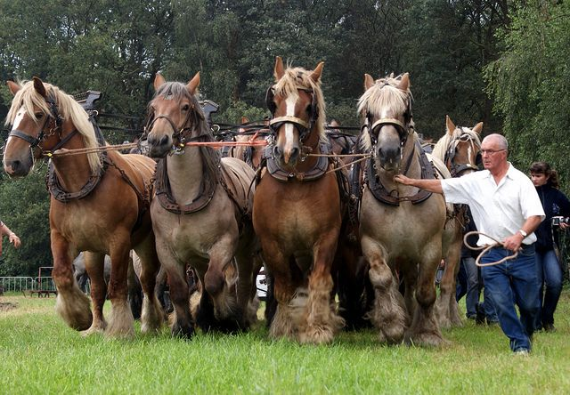 a demonstration with 16 Belgian draft horses. by Gerard Bijvank, via Flickr    So much horsepower!!!