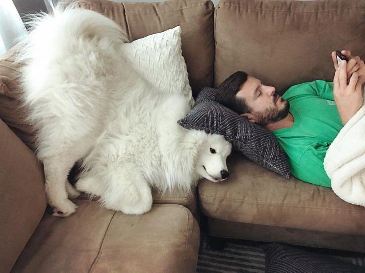 Resultado de imagen para samoyed cuddle