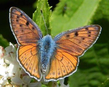 Lycaena alciphron (Rottemburg, 1775) - le farfalle  forse estinta nella Puglia