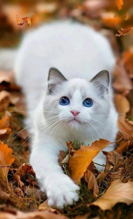 Trop chou ce petit chat européen ^^