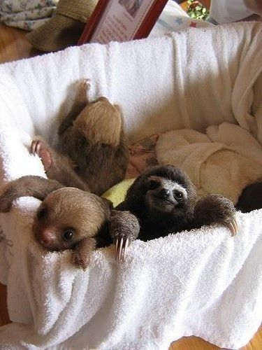 A baby three-toed sloth in a basket of two-toed sloths