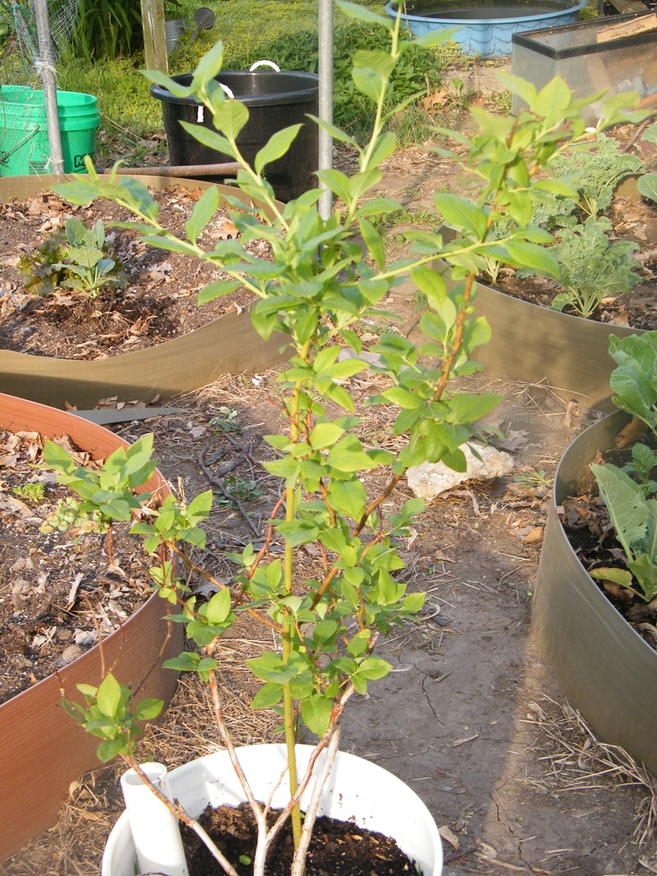My Blueberry Plant in a homemade self watering container is still doing quite well