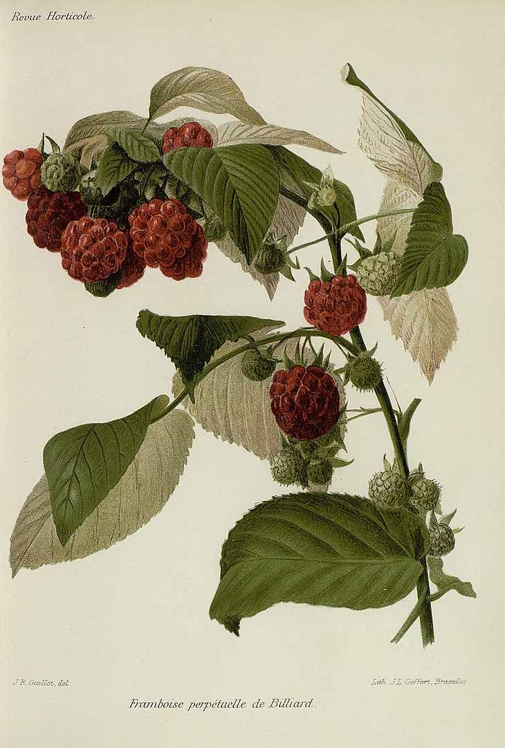 248 best berries images on pinterest botanical illustration