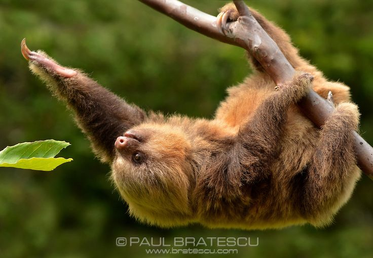 Baby Hoffman's Two-toed Sloth (Choloepus hoffmanni) - Paul Bratescu Photography www.bratescu.com