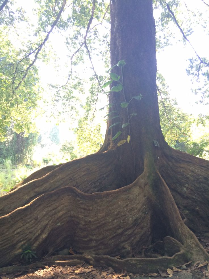 Interesting root of the tree @ Bogor Botanical Garden Indonesia