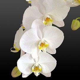 広島市の花屋フラート 即日発送可能。お祝・開店祝いに、ミニコチョウラン・胡蝶蘭等の洋ランをお届け。