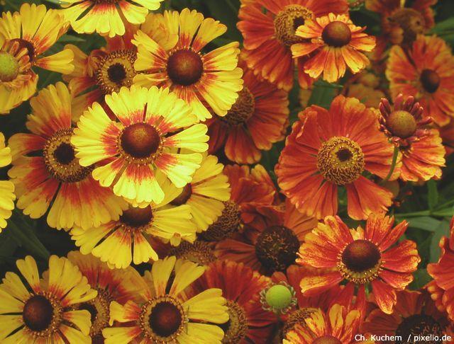 Sonnenbraut in gelb und orange im Garten.