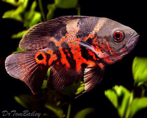 25 best ideas about oscar fish on pinterest aquarium for Pictures of oscar fish