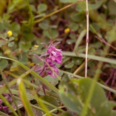 Тот самый сиреневенький цветочек-ползунок чье имя я всё ещё хочу узнать.  #травыроссии #цветы
