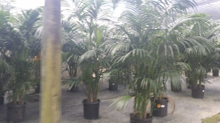 Florida Wholesale Plant Nursery Homestead Florida - Kentia Palm Shade Grown #KentiaPalm #BuyPalmTrees #WholesalePalms