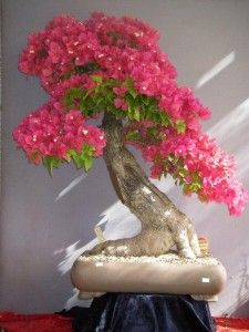 Bougainvillea ~ approx 30 yrs old