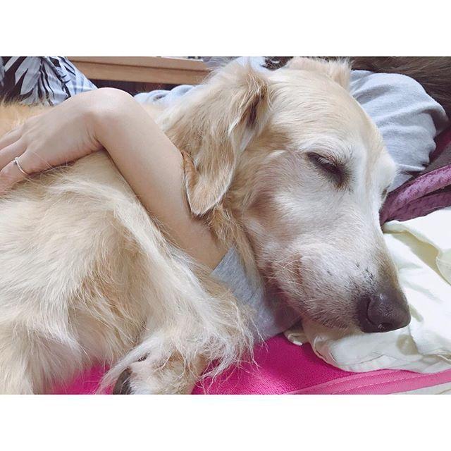 【 2017.11.30 】 ・ ・ ・ ねむねむ杏莉ちゃん 😴 いびきかいて寝んね 😂 かわいいなぁ〜💕💕💕 ・ ・ #inst_dogs #dog #dogstagram #doglover #ilovedogs #ilovedogs #mydogiscutest #goldenretriever #愛犬 #愛犬家 #可愛い #ゴールデンレトリバー #プードル #トイプードル #といぷーどる #姉妹 #わんちゃん好き #わんちゃん好きと繋がりたい #いぬすたぐらむ #いぬバカ部 #わんちゃん #花琳と杏莉の日常