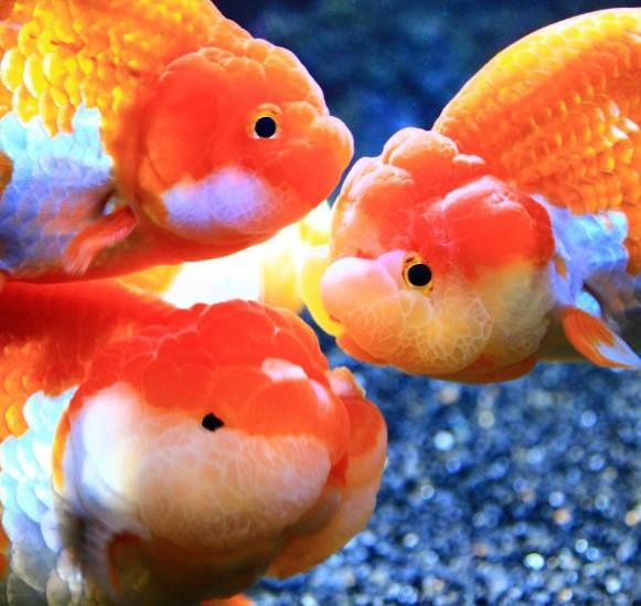 623 best adorable goldfish and koi and ponds images on for Koi goldfish care