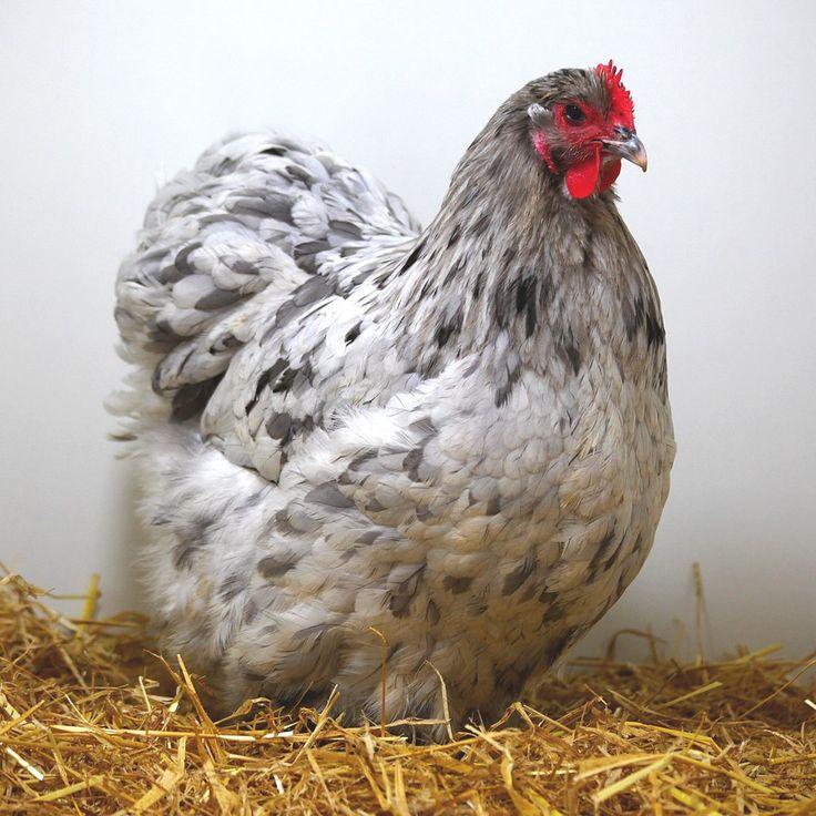 61 best poules et coqs chez farmili images on pinterest. Black Bedroom Furniture Sets. Home Design Ideas