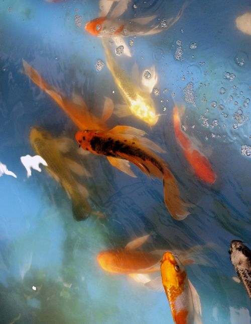 16 best pesti images on pinterest fish exotic fish and for Koi fish culture