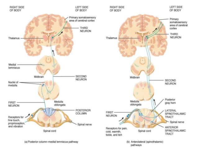 The 114 best Brainstem project images on Pinterest Human anatomy - spinothalamic tract