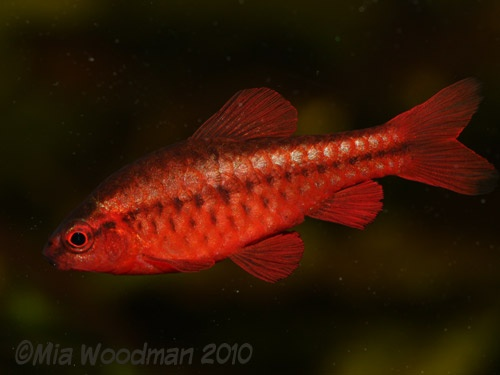 1000 images about pets fish on pinterest copper for Cherry barb fish