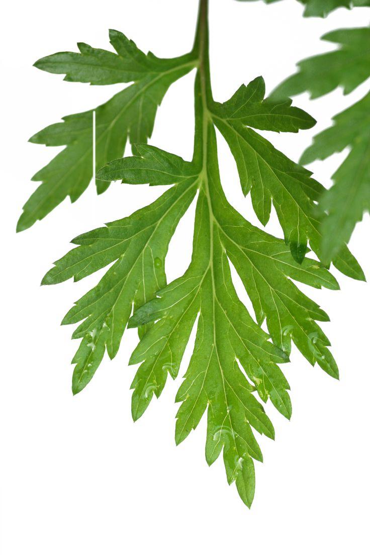 Bijvoet (Artemisa vulgaris)