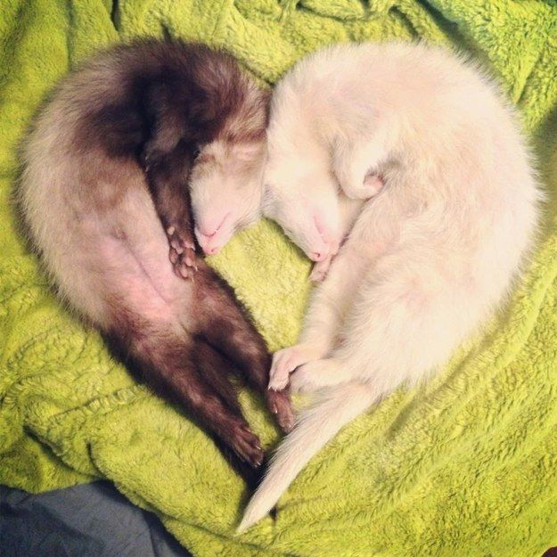 Most importantly? They're full of warm, fuzzy, ferret love! | 19 Reasons Ferrets Make The Most Adorable Pets