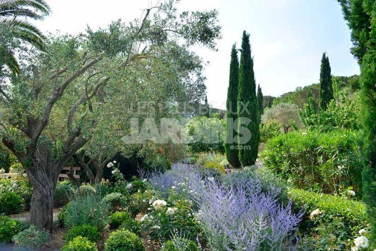 Massif fleuri perovskia atriplicifolia et rosier 39 iceberg 39 gauche un olivier derbez mon - Massif jardin avec olivier ...