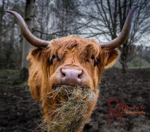 Scottish Highlander Tattoo: 647 Best Images About Things That Make Me Happy!! On