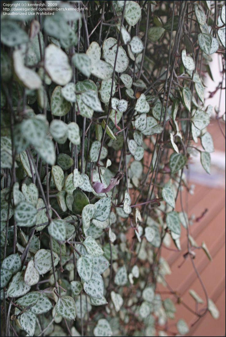 rosary vine google hanging plantsindoor