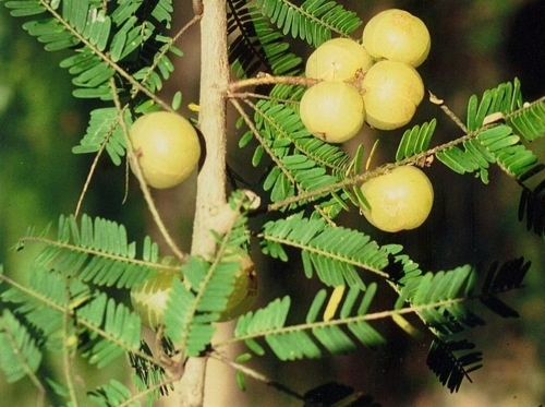 Ruby Rave – Phyllanthus Emblica (Indian Gooseberry)