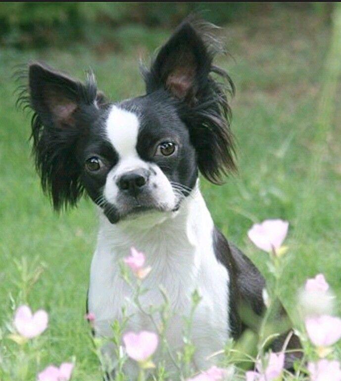 BostillonBoston Terrier/Papillon mix I am totally against