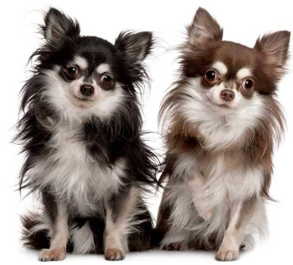 Fotos de perros chihuahua con pelo largo