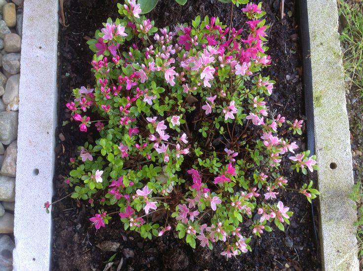 """Rhododendron obtusum """"Kermesina Rose"""". Jag köpte denna härliga planta i höstas. Det är en bogrönt planta."""