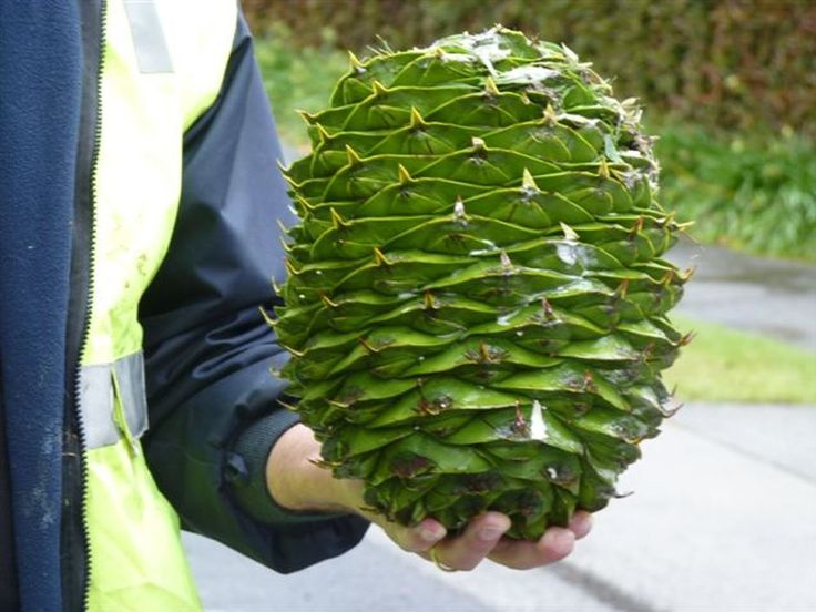 Warning over watermelon-sized pine cones
