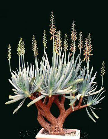 #Aloe #plicatilis #bonsai http://www.roanokemyhomesweethome.com