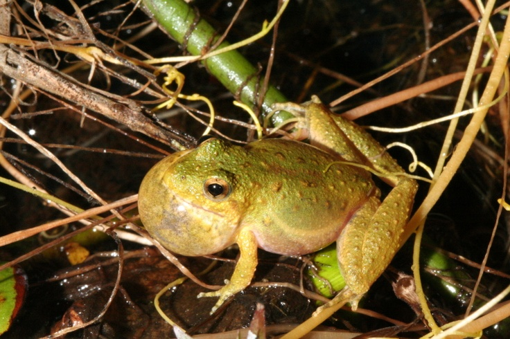 Cricket Frog (Acris crepitans) - USA Texas Leon Hilltop lakes May 2008 6