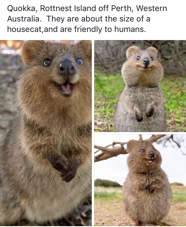Quokka Animals Quokka Teddy Bear