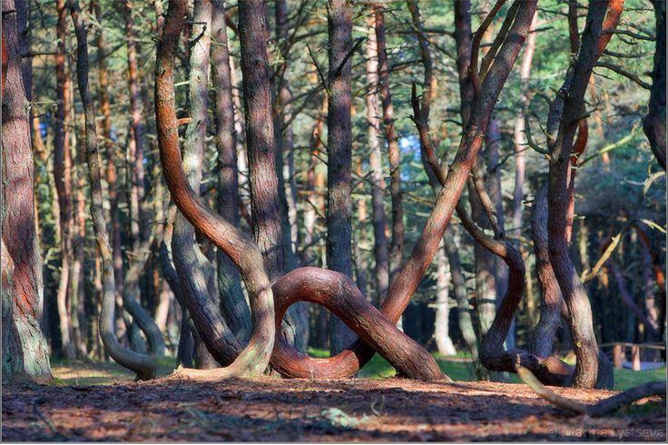 La forêt dansante de Kaliningrad, Russie. -  Située en Russie à Kaliningrad, The Dancing Forest (la forêt dansante) est une forêt de pins qui, pour la plupart, ont subi une torsion en forme de cercles et spirales. Aucune explication à ce jour ne permet d'élucider ce phénomène. Toutefois, la théorie la plus aisément admise est que les arbres de la forêt ont été façonnés par les vents puissants qui soufflent dans la région.