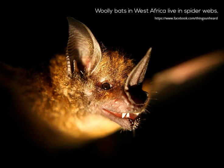 Woolly bats in West Africa live in spider webs.