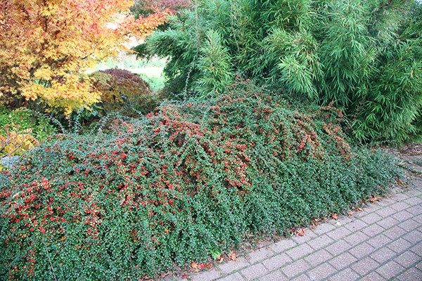 Buy Coral Beauty Cotoneaster Cotoneaster Suecicus Coral Beauty 3 49 Delivery By Crocus Ground Cover Plants Cotoneaster Landscaping Plants
