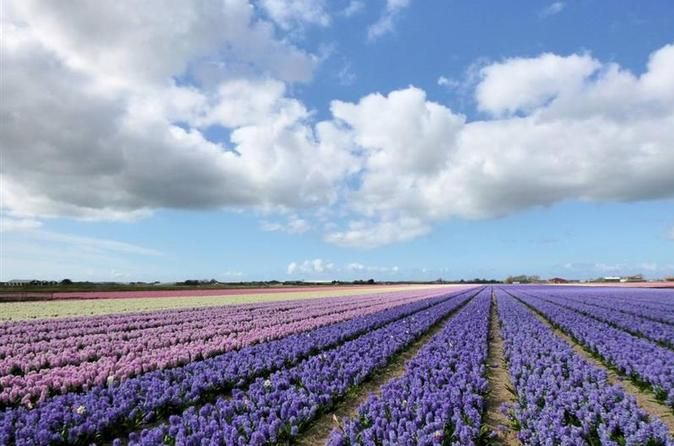 Private Tour: Tulip Fields of Holland Day Tour with Optional Bike Tour from Amsterdam Full day private tour of tulip and other springtime flower fields in Holland. By car from Amsterdam, with optional short or longer cycling tour in the countryside.The season for tulips and other bulb flowers in Holland runs from March to May. Depending on winter and spring temperatures. There are different species of bulb flowers, early and late spring. Meaning that the one ideal spot and tim...