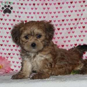 Shorkie Puppies For Sale Greenfield Puppies In 2020 Shorkie