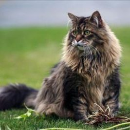 The Maine Coon is our state cat. It's a very big, beautiful, long-haired  cat that comes in every color.