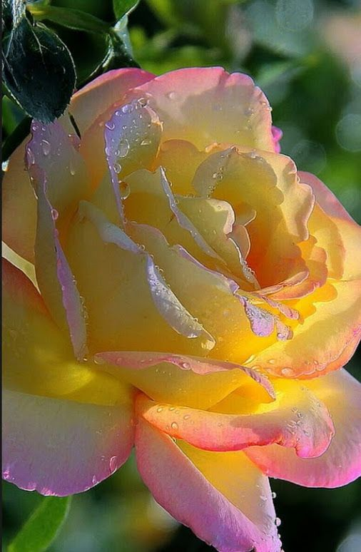 Beautiful rose with the dew on it and gentle morning sunshine. Lovely yellow, orange and pink tipped edges. My personal favorite colored rose.