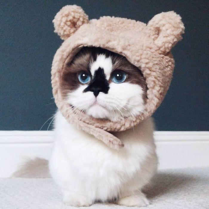 Er ist eine Instagram-berühmte Munchkin-Katze mit wunderschönen blauen Augen und …   – Munchkin Cat