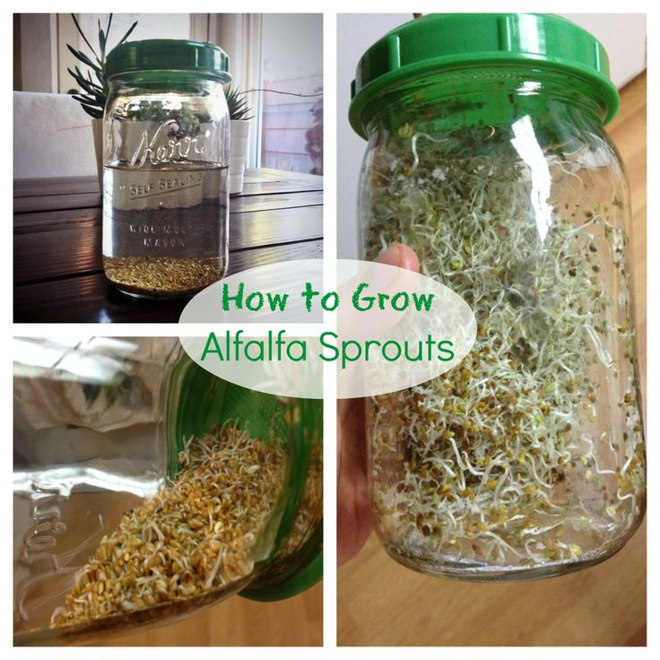 Easy how to grow Alfalfa Sprouts at home grow alfalfa