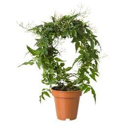 JASMINUM саксийно растение, Жасмин, NULL, Живи растения