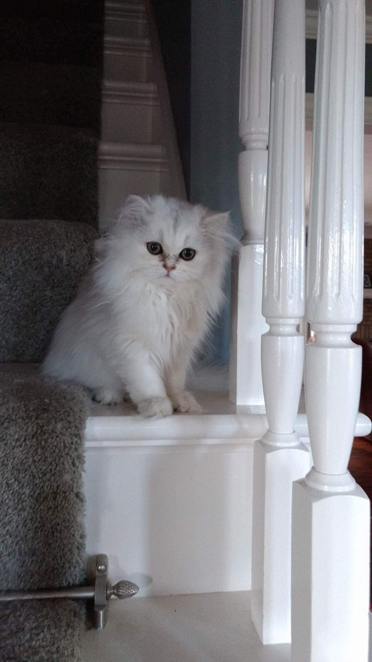 10 best Persian kitten available all white 678 699 2429 images