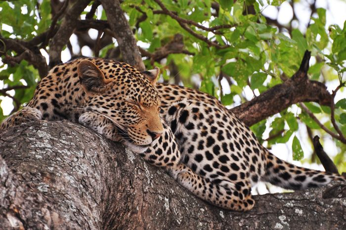 #MongenaPrivateGameReserve #Leopard  #Wildlife #Nature